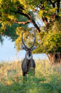 Zimbabwe Safari Reise - Wasserbock