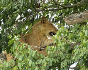Uganda Safari - Queen Elisabeth Nationalpark