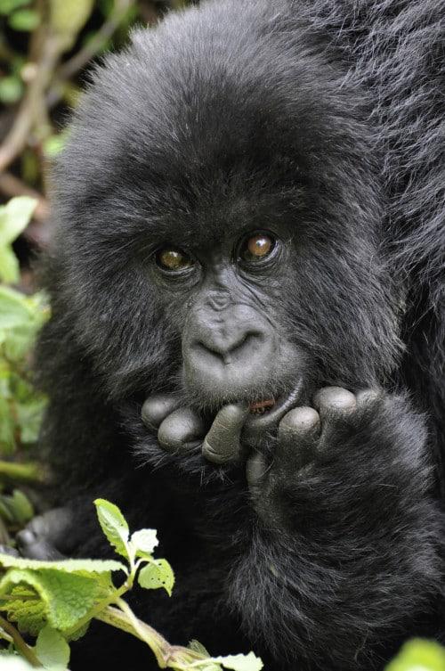 Afrika Individualreisen - Tierbeobachtung Gorillas