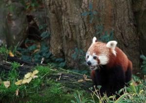 Red Panda - Bhutan Gruppenreisen