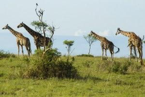 Murchison Falls Nationalpark Uganda Safari