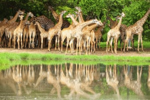 Giraffen - Südafrika- Reisen Spezialist