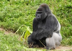 Gorilla Tracking Reise Uganda