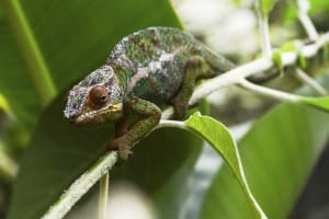 Chamäleon Reisen Madagaskar