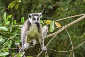 Madagaskar Lemuren Safari