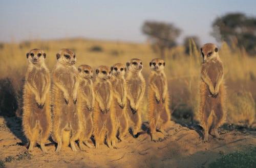 Namibia Reisen - Erdmännchen Safari