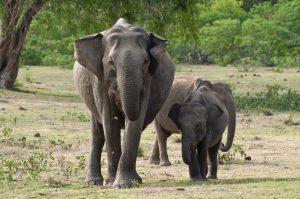 Indien Reisen – Elefanten in Kodanad