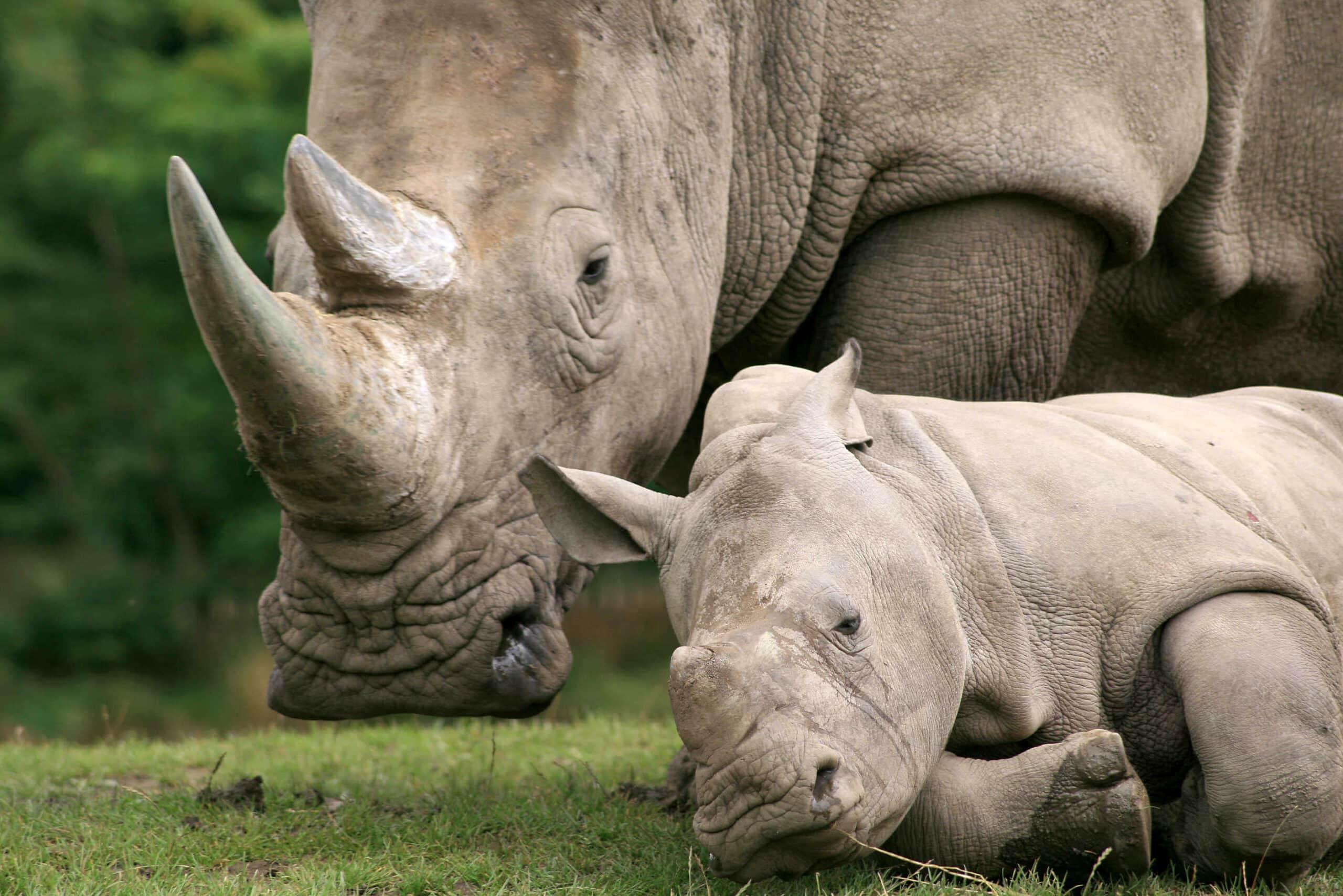 Südafrika Reisen – Wilderei an Nashörnern: Neue Zahlen aus Südafrika