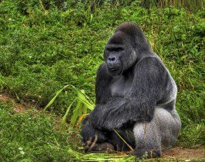 Reisebericht unserer Zentralafrika Rundreise - Flachlandgorilla