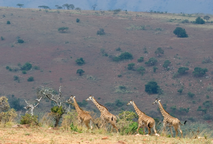 Safaris im Akagera Nationalpark - Ruanda
