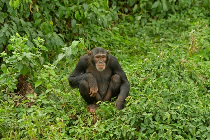 Gorilla Safari - Nyunwe Nationalpark -Ruanda