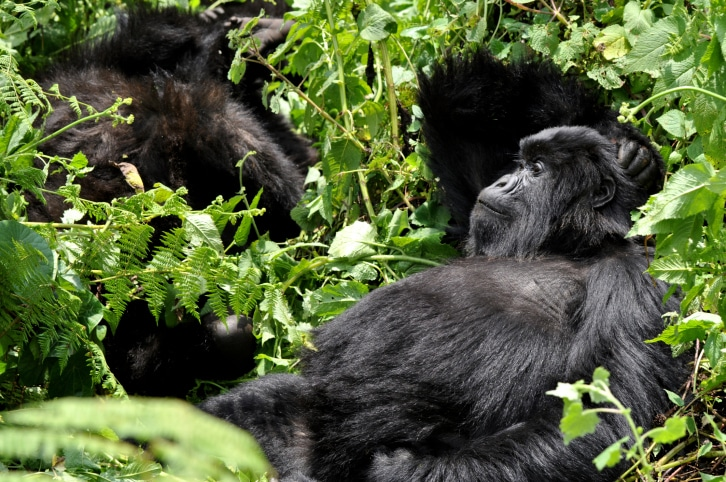 Gorilla Tracking Reise - Ruanda