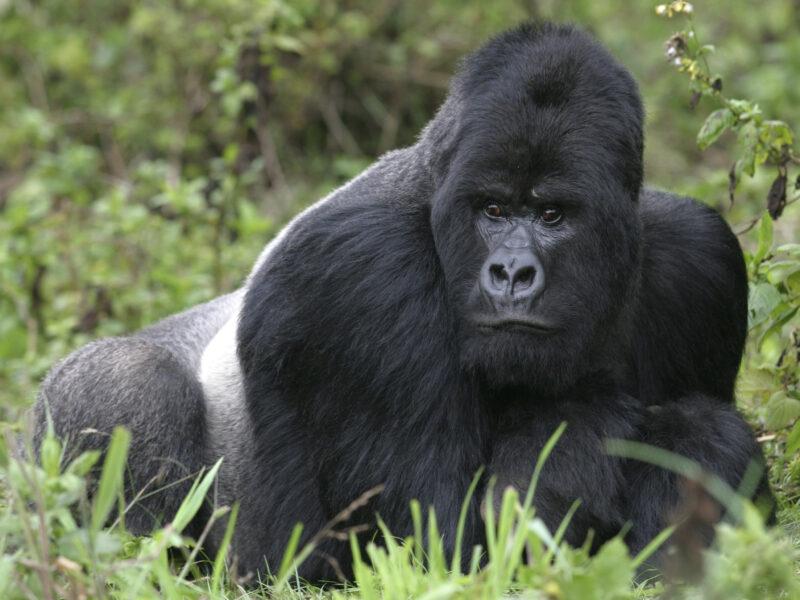 Uganda – Gorilla Trekking Reise im Dschungel Ugandas