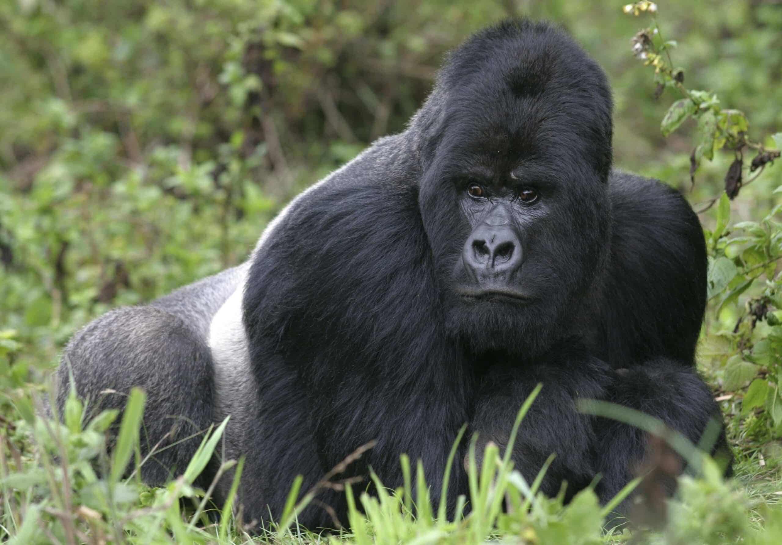 uganda gorilla trekking reise im dschungel ugandas rundreisen gruppenreisen und. Black Bedroom Furniture Sets. Home Design Ideas