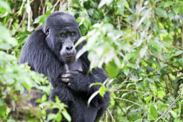 Beste Jahreszeit für ein Gorilla-Trekking Reise in Uganda