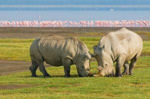 Kenia – 21 Nashörner ziehen vom Lake Nakuru um