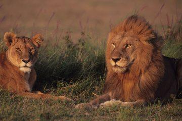 Masai Mara - Kenia Reisen