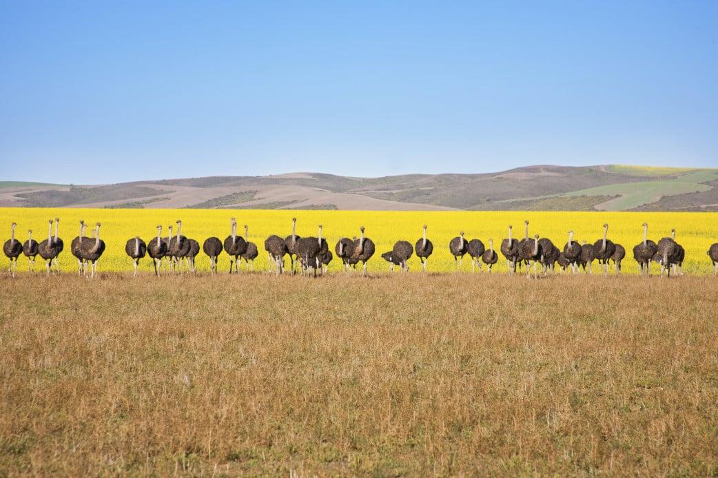 Oudtshoorn- Straußenfarm in Südafrikas