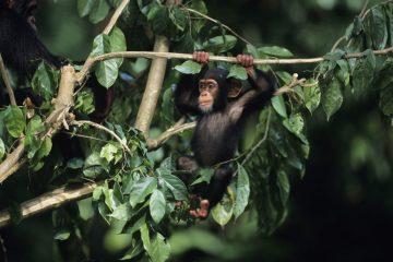 Uganda-Ruanda Rundreisen zu den Schimpansen