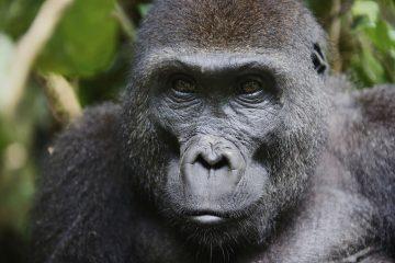 Gorilla Trekking in Kamerun