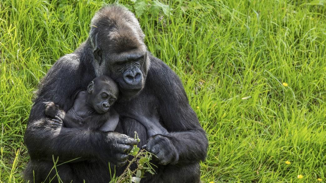 Gorilla Trekking Reisen in Uganda