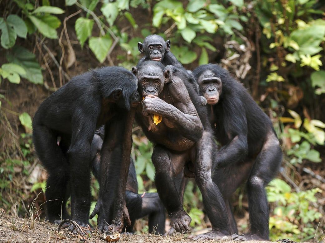Schimpansen Tracking Uganda