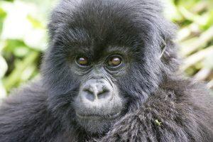 Uganda News-natuerlich.reisen- Gorilla Tourismus