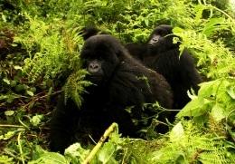 Was ist zu beachten? Gorilla-Trekking
