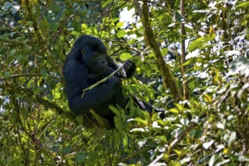 Berggorilla Trekking - Ruanda Reisen