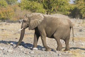 Elefant - Namibia - Reisen
