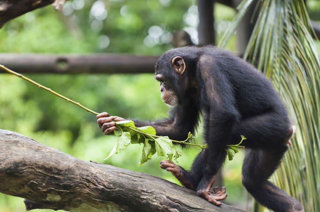 Ruanda - Reisen - Schimpanse