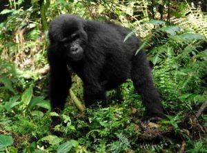 Berggorilla - Schutz - Uganda