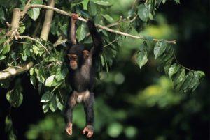 Uganda Reiseführer - Schimpansen Tracking