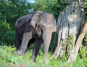 Sri Lanka- Uda Walawe Nationalpark