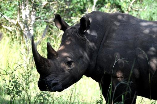 Uganda- Nashorn Schutzgebiet