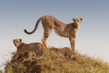 Tracking von Geparden - Namibia Safari