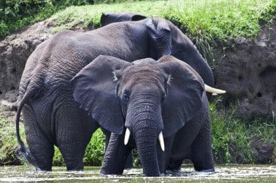 Elefanten Safari - Uganda