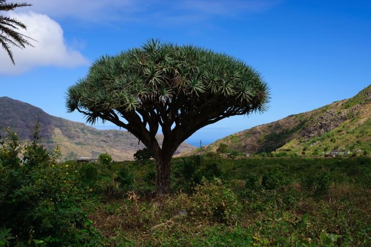 Kapverdische Inseln - Drachenbaum