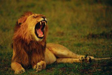 Löwe Hell's Gate Nationalpark in Kenia