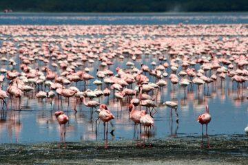 Flamingos Lake Nakuru in Kenia