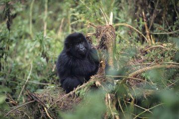 Ruanda-Reisen - Ruanda im Dezember - Berggorillas in Ruanda - Gorilla-Trekking Ruanda - Safaris