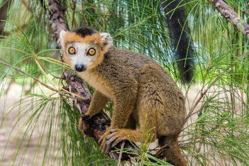 Lemuren Safari in Madagaskar