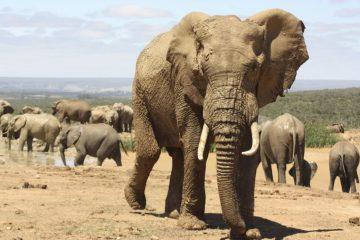 Elefantenherde - Addo Elephant - Südafrika im November