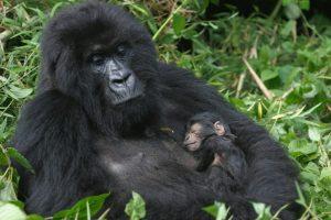 Gorilla Trekking Uganda Uganda Gorilla Safari Reisen Touren