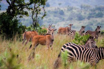 Ruanda Safariurlaub im August