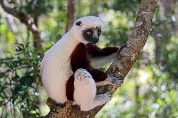 Madagaskar Urlaub - Besuch des Andasibe-Mantadia Nationalpark