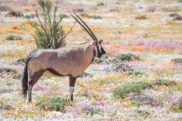 Blumenlandschaft - Namaqualand - Südafrika im September