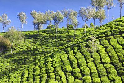 Indien Aktivreise -BhutanTeeplantagen - Munnar - Indien