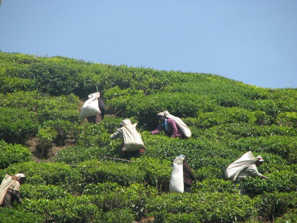 sri lanka rundreise, teeplantagen sri lanka