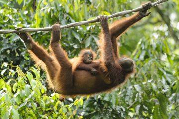 Orang-Utan Rehabilitations Zentrum Borneo